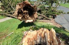 A large Norfolk Pine was sheared off at the base in Yeppoon during Cyclone Marcia narrowly missing nearby buildings.