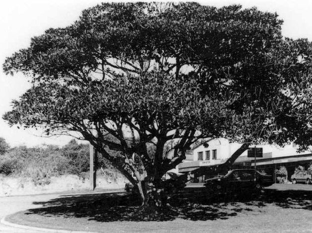 1987: The fig tree planted by Ted Bentley in 1955 near Seaview Terrace at Moffat Beach.