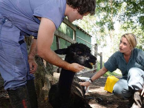 GENTLY DOES IT: Veterinarian John Campbell and final year veterinary student Alannah Jupe caring for one of the injured alpacas at Woodlawn College yesterday.