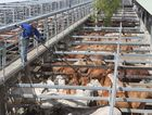 Cattle ready for auction at the CQLX sale yards in Gracemere Photo Rachael Conaghan/The Rural Weekly