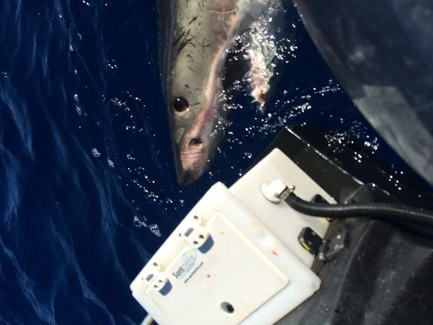 Daniel Fleming believes this same shark attacked his boat twice within six months near Pottsville. Photo: contributed by Daniel Fleming