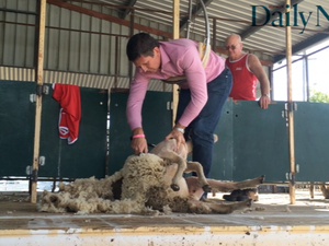 No opposition: Lawrence Springborg shears a sheep