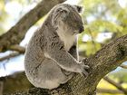 Koala left for dead in backyard after dog attack