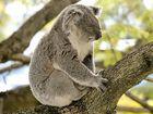 Leading koala scientist casts doubt on RMS koala data