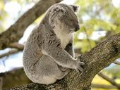 BLUESFEST have responded to statements made by Dr Steve Phillips in the media stating that Bluesfest noise has killed koalas.