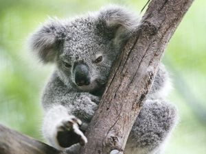 Coast koala numbers continue to plummet
