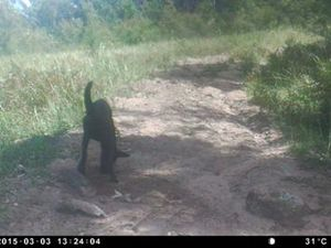 Council captures wild dogs on camera at Wildash