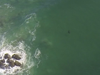 Footage provided by the Westpac Life Saver Rescue Helicopter showing a shark they were tracking off Boulder Beach this morning.