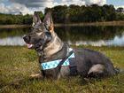 Police dog Prue.