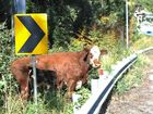 Cow at big banana 06 AUG 2015 Photo Trevor Veale / Coffs Coast Advocate