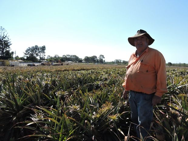 Paddocks of John Zelenka's pinapples will be wiped out as the Hay Point Rd roundabout is built. Photo: Emily Smith / The Daily Mercury