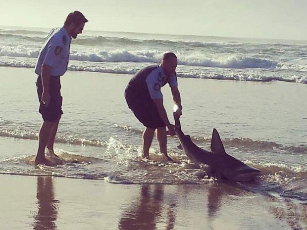 Michelle Edwards took this photo of police returning a shark to the water at Shelly Beach, Ballina.