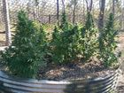 RAID: Detectives have arrested three men after the alleged discovery of a large cannabis crop at Lowmead, north of Bundaberg on Tuesday October 13, 2015.