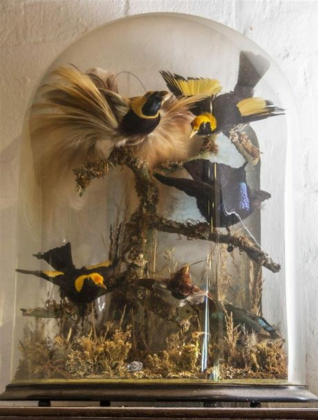Ornamental taxidermy display, comprising bird of paradise, regent bower bird and noisy pitta under glass, from the Austin estate. Contributed photo.