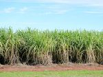 Healthy looking sugarcane at Goodwood Rd, Goodwood. Photo Brittany Cook / Isis Town & Country
