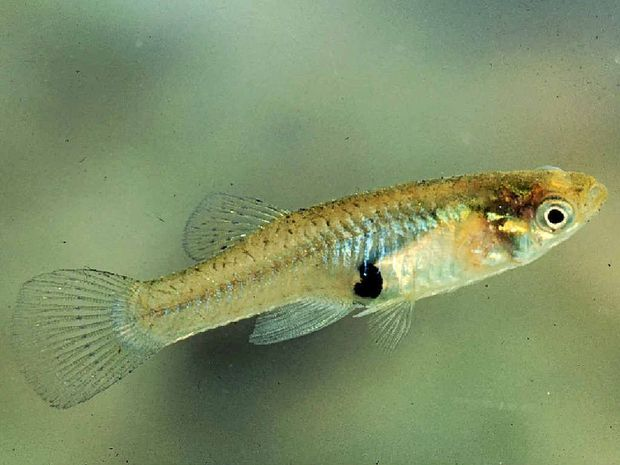 The gambusia is a type of noxious fish.