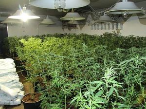 More than 800 cannabis plants discovered at Chambers Flat