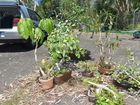 Police recover stolen bonsai plants from Noosa and return them to the owner. Photo: Warren Lynam / Sunshine Coast Daily