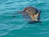 A SWAMP wallaby found paddling a kilometre off the shore of Arrawarra Beach has been rescued by a boat-load of Southern Cross University students.