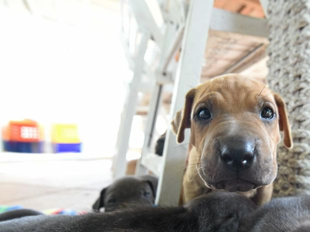 Rescued puppies looking for a home this christmas thanks to the Northern Rivers Animal Service who retrieved the animals after they were voluntarily given up. Photo Marc Stapelberg / The Northern Star