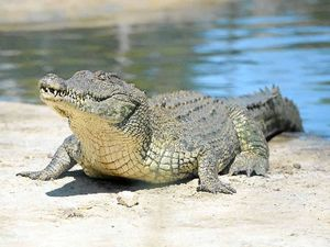Crocodile attack: Woman snatched from waist-deep water