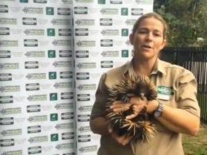 Echidna mum Piggie shows off bub Piglet