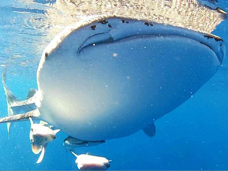 The whale shark with two albino remoras and a cobia.