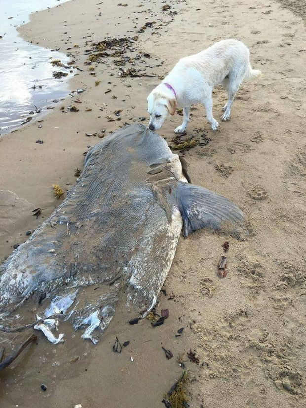 This shark washed up on Canoe Point beach this morning at Tannum Sands. Photo Lyn Farrow