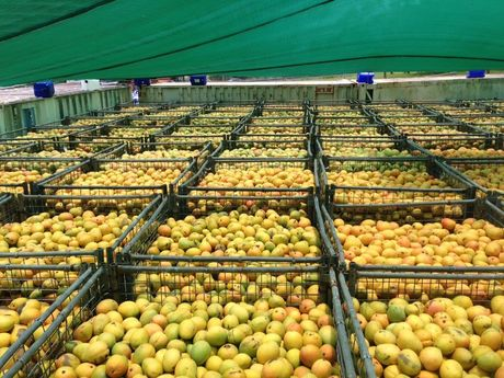 Thousands of mangoes are processed in the Toowoomba factory to make Weis bars. Photo Contributed