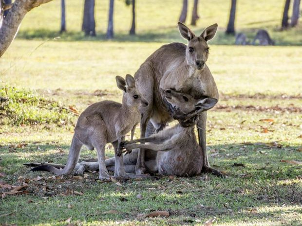 A male kangaroo holds the dead mother of a joey.