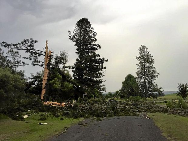 The large tree hit by lightning out at Old Bonalbo in yesterday's storms.