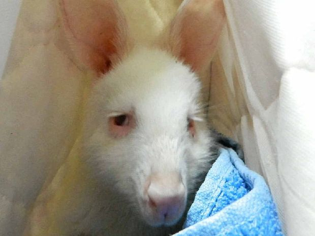 WHOLE NEW WORLD: The newest albino joey at Darling Downs Zoo is learning about his surroundings one day at a time.