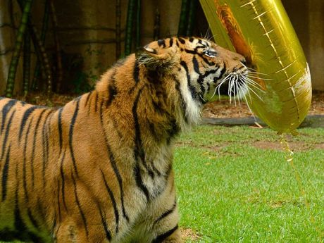 UNPERTURBED: Ranu looks at his reflection in the balloon.