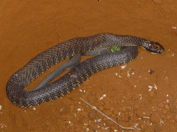 Tiger snakes are a type of venomous snake found in southern regions of Australia.
