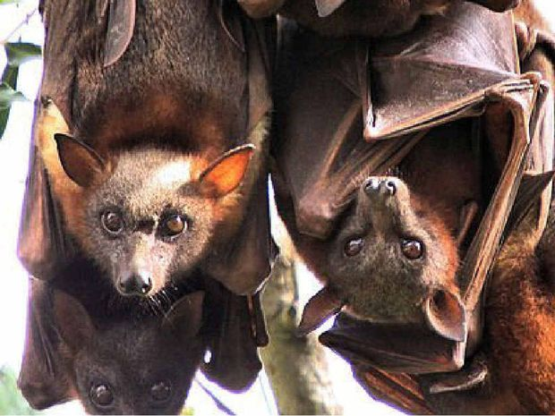 ON THEIR WAY: More than a million little red flying foxes are tipped to be on their way to the Coast but they probably won't be here for long.