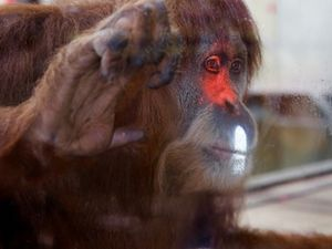 Melbourne orangutans to test new technology