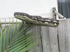 A Carpet Python didn't appreciate being captured in Currimundi this week.