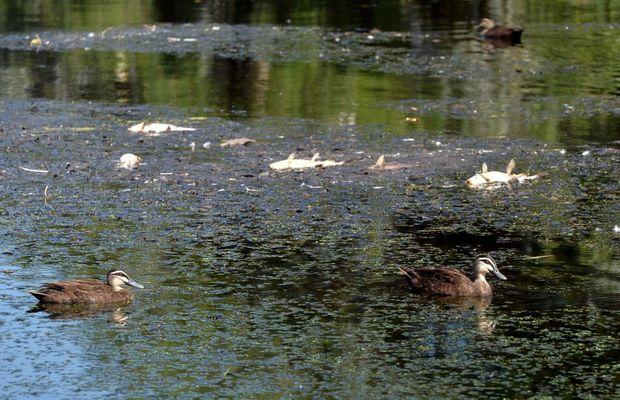 Dead fish in the Gooseponds Photo Tony Martin / Daily Mercury