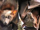 ENVIRONMENT Minister Steven Miles has turned his back on complaints from Yamanto residents about the growing flying fox colony and will not inspect the site.