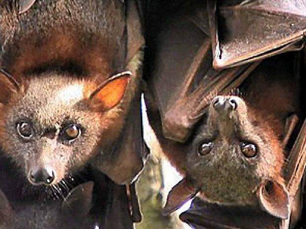 CHANGE THE LAWS: Mayor Paul Pisasale says legislation gives the flying fox more rights in urban areas than people.