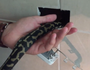 Python trapped and burned in wall socket.
