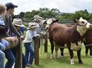 Learning how to show cattle