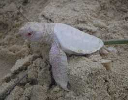 Tiny, rare albino turtle found on Sunshine Coast beach