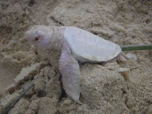 A rare albino turtle found on the Sunshine Coast. Photo: Adrienne Savage via Facebook