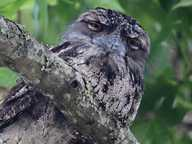 CAMOUFLAGE: Rebecca Ryan captured this snap of a tawny frogmouth hiding in her front yard in Lismore.