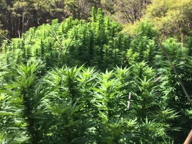 Over $1.5 million in cannabis plants have been seized by police during a four-day cannabis eradication program.Photo Contributed