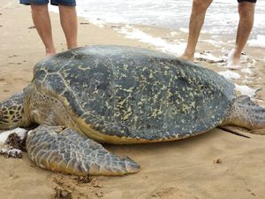 160kg turtle hit by boat, taken into care