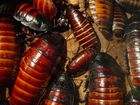 Cockroach invasion: 'There's all these feelers'