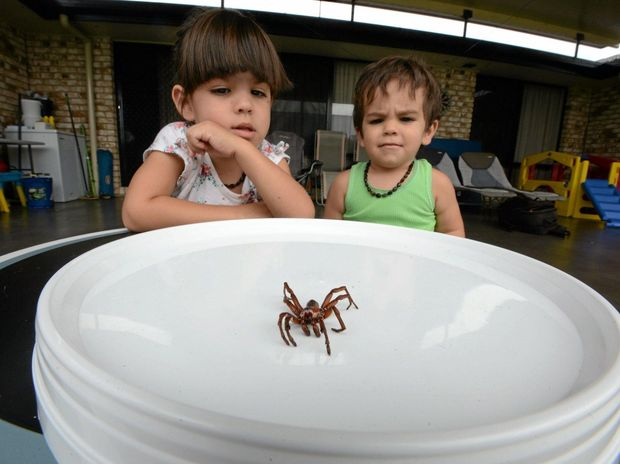Three-year-old Ujjwala Sipe and her brother Matteo, 22 months, with the spider – believed to be a tree-dwelling funnel web – they found at their home in Goonellabah on Sunday.