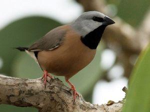 Galilee Basin mines threaten black throated finch habitat